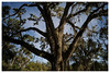 L1004122 (Kimberly Peery Sherman) Tags: leicam9p 2134semasph 320 67 1500 liveoaktree spanishmoss junkyardpath ossabawislandfoundation ossabawisland ccd leicablue