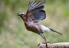 Jay taken off (davy ren2) Tags: jay flight d500 nikon woodland photograthy wildlife morning nature wild