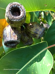Such a strong gum nutWeeping GumtreeGold Coast, Australia photo©jadoretotravel (J'Adoretotravel) Tags: australia goldcoast jadoretotravel weepinggum gumnuts floweringtrees nativetrees australiannatives