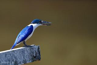 Malaisie Kingfisher Martin-pêcheur