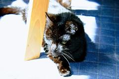Assam Enjoying the Sun (sjrankin) Tags: 25february2018 edited processed autogenerated animal cat kitchen floor assam sun sunlight sunbeam chair chairleg carpet 2016 hokkaido japan