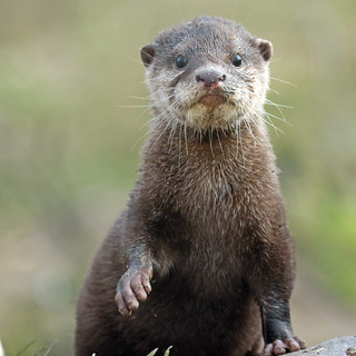 smallclawed otter Hoenderdaell BB2A4590