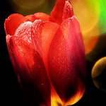 Orillia Ontario -  Canada - Leacock Museum ~ Botanical Gardens - Tulips - Bokehs - Water Droplets thumbnail