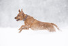 'A Dog in a Flurry' (Jonathan Casey) Tags: dog labrador red snow fox norfolk running action nikon d850 200mm f2 vr