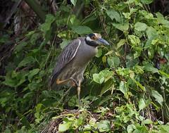 P1260071 (davidpetergibbins) Tags: yellow crowned night heron costa rica