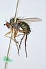 Dolichopus stannii Zetterstedt, 1843 (Biological Museum, Lund University: Entomology) Tags: diptera dolichopodidae dolichopodinae zetterstedt mzlutype05889 dolichopus stannii diadema taxonomy:binomial=dolichopusstannii