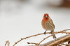 Smile! (dbifulco) Tags: hofi nature bird birds branch cold curved housefinch male outdoors red snow tree wildlife winter
