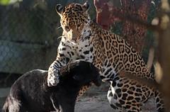 jaguar Artis BB2A5910 (j.a.kok) Tags: jaguar jaguarcub jaguarwelp moederenkind motherandchild pantheraonca kat cat mammal zoogdier dier animal artis zuidamerika southamerica