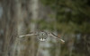 Grey_Ghost (Mr Macgoo) Tags: greatgreyowl owl birdsinflight feathers forest gliding sunshine birds birdphotography ontariowildlife photography flight soaring