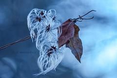Clematis and leaves. (agnieszka.a.morawska) Tags: lublin poland nature winter oldlens manuallens helios macro bokeh bokehlicious beyondbokeh