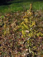 Goldenrod (BlueRidgeKitties) Tags: canonpowershotsx40hs solidago goldenrod asteraceae