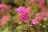 Phlox paniculata 'Württembergia' (Hrvoje Šašek) Tags: phloxpaniculatawürttembergia visokiplamenac cvijet cvijeće flower flowers biljka plant biljke plants priroda nature botaničkivrt botanicalgarden zagreb hrvatska croatia kroatien croazia d3300 boja ružičasto pink 7dwf