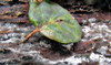 Shy (TJ Gehling) Tags: amphibian salamander plethodontidae slendersalamander californiaslendersalamander batrachoseps batrachosepsattenuatus leaf oakleaf canyontrailpark elcerrito