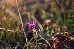 Centaurea aspera (esta_ahi) Tags: canbrugal santamargaridaielsmonjos flor flora flores silvestres compositae asteraceae centaurea aspera centaureaaspera penedès barcelona españa spain испания