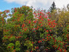 Colorful Trees along the Cog Railway (Joey Hinton) Tags: olympus omd em1 1240mm f28 new hampshire mount washington mountain mft m43 microfourthirds white national forest