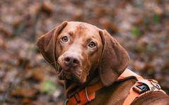 Jack, the Vizsla (RUFFlections Photography) Tags: dog dogphotography canoneos eos400d vizsla sillyface closeup