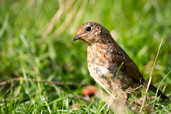 Juvenile Robin keeping an eye on me (geoffmahiques) Tags: robin juvenile canon wildlifephotographer wildlifephotography