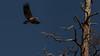 Bald Eagle Immature Flying-2 (keaton_vanderploeg) Tags: birds raptors eagles bald eagle wildlife animals arizona flagstaff nature