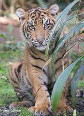 Rakan (ToddLahman) Tags: rakan sumatrantiger sandiegozoosafaripark safaripark tiger tigers tigertrail tigercub cub portrait male beautiful mammal escondido eyelock exhibitb closeup outdoors