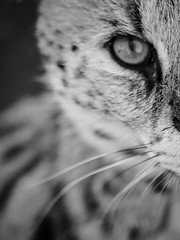 Look me in the eyes ... (davYd&s4rah) Tags: cat serval southafrica black white bw wildlife mono cats eye olympusm75mmf18 predator wildcat