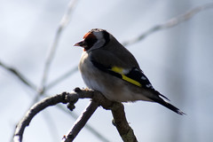 """goldfinch-c • <a style=""""font-size:0.8em;"""" href=""""http://www.flickr.com/photos/157241634@N04/26613921768/"""" target=""""_blank"""">View on Flickr</a>"""
