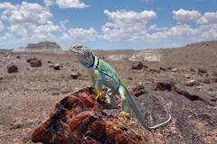 US-AZ Petrified Forest NP - Guardian of Crystal Forest 2016-07-04 (N-Blueion) Tags: