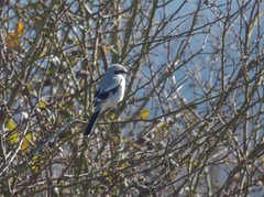 Great Grey Shrike Gloucestershire 25-02-2018-2628 (seandarcy2) Tags: shrike greatgrey wildlife birds winter visitors migrant butcher bird