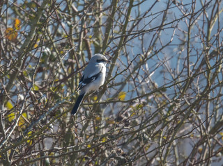 Great Grey Shrike Gloucestershire 25-02-2018-2628