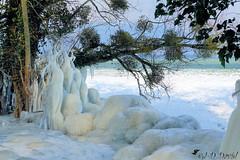 Le gui à échappé à la carapace de glace ! (jean-daniel david) Tags: hiver glace gel lac lacdeneuchâtel nature suisse suisseromande yverdonlesbains blanc arbre feuille gui