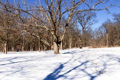 Trees and Shadows of Trees 9 of 365 (5) (bleedenm) Tags: mortonarboretum january 2015 nature snow outdoors winter trees lisleillinois