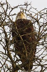 Air King (petejam70) Tags: eagle birdsofprey beautiful naturewatcher nature tree vancouvercanada power
