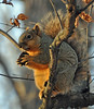 the surly gourmand (christiaan_25) Tags: easternfoxsquirrel squirrel treesquirrel sciurusniger gourmand foodie eating dinner tree branch blackwalnut nut woods forest nature outside outdoor sunlight wild