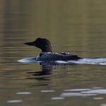 Loon on Sakinaw thumbnail