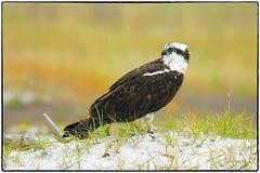 Osprey (RKop) Tags: a77mk2 70400gssmsony caladesiislandstatepark florida raphaelkopanphotography