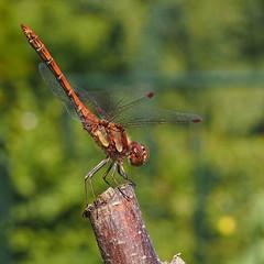 Sympetrum Striolatum - 35mm Macro (Visual Stripes) Tags: dragonfly odonata insect macro 35mm 35mmmacro mzuiko olympusepm1 bokeh dof composition