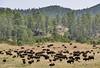Where the buffalo roam (evakatharina12) Tags: buffalo bison animal blackhills custerstatepark wildlifeloop southdakota wildlife outdoor prairie panasonic fz1000