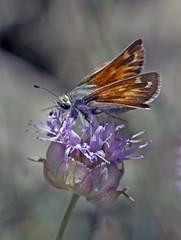 Sandhill Skipper (Polites sabuleti) (Ron Wolf) Tags: hesperiidae inyonationalforest lepidoptera politessabuleti sandhillskipper whitemountains butterfly insect macro nature subalpine wildlife california