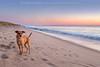 Pippi at the Beach (adventuredogphoto) Tags: beach ocean terrier terriermix sunrise sunset sand capecod atlanticocean adventuredog adventuredogphotography beyondthefence blueamrich dogphotographer dogphotography landscape doginlandscape happydog