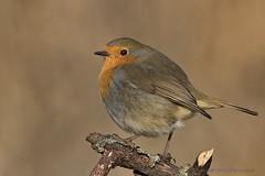 Rotkehlchen (Erithacus rubecula) (appeldorn99) Tags: magdeburg sachsenanhalt deutschland deu wildlife singvogel rotkehlchen