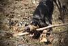 Nasco (bulbocode909) Tags: chiens animaux suisse bâtons jeux nature montagnes