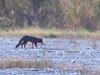 Gray Fox 01-20180116 (Kenneth Cole Schneider) Tags: florida miramar westmiramarwca