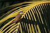 Social Flycatcher / Tyran sociable /Myiozetetes similis (ricketdi) Tags: birdofcostarica socialflycatcher tyransociable myiozetetessimilis