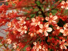 More of them (tomquah) Tags: flowers red pink tiny