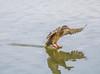 Soft landing. (Omygodtom) Tags: wild wildlife bokeh bird hen mallard shadow nikkor 7dwf coth5 natural nikon70300mmvrlens nature nikon dof d7100 vr water river feet usgs ngc