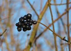 Black and shining (joeke pieters) Tags: 1370945 panasonicdmcfz150 bessen berries january