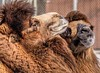 Togetherness (Wes Iversen) Tags: camelusbactrianusbactrianus detroitzoo fencefriday hff michigan nikkor18300mm royaloak animals bactriancamels camels fences mammals zoos