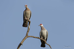 Pigeon Roussard (jeanot94) Tags: speckledpigeon palomadeguinea pombomalhado guineataube piccionemarezzato sénégal djoudj saintlouis sinésaloum languedebarbarie mbour pigeondeguinée
