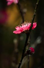 Plum Flower in the Dark (Roniyo888) Tags: closeup spring fruit tree peach flower macro plant garden pink