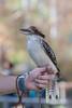 Kookaburra. (LisaDiazPhotos) Tags: animal ambassador kookaburra lisadiazphotos sdzsafaripark sdzoo sdzsp sandiegozoo sandiegozooglobal sandiegozoosafaripark sandiegosafaripark bird