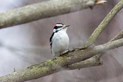 arcadia2018-106 (gtxjimmy) Tags: nikond7200 nikon d7200 tamron 150600mm bird new england arcadia wildlife sanctuary audubon society mass audubbon massachusettseasthamptonbird woodpecker hairywoodpecker